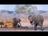 Mother Elephant Protect Her Baby From Pride Of Lion Hunting  Best Animals Saves