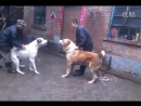 собачьи бои алабай VS дог [360]