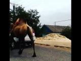 Ничего необычного. Просто верблюд бежит по Элиста. Калмыкия.