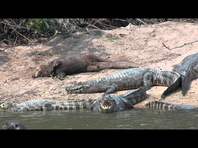 Giant otter and Yacare caiman