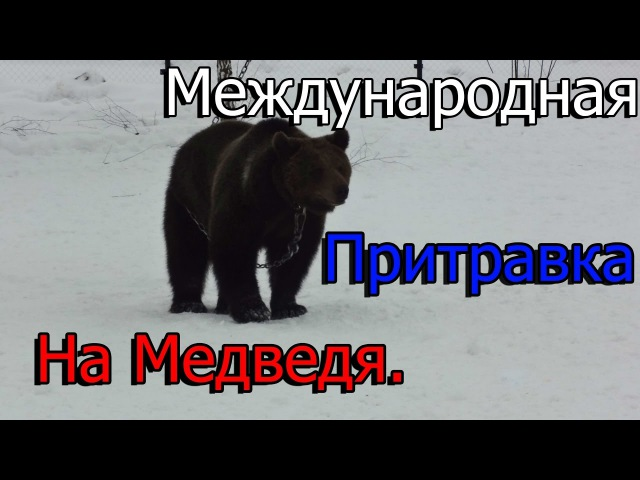 Притравка на Медведя. Международная притравка собак по медведю.