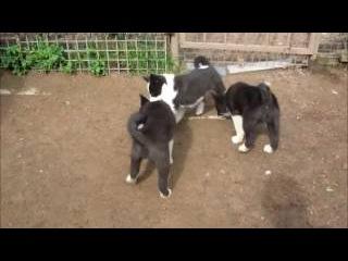 Карельская медвежья собака, щенки 2 мес (For sale! Puppies Karelian bear dog!)