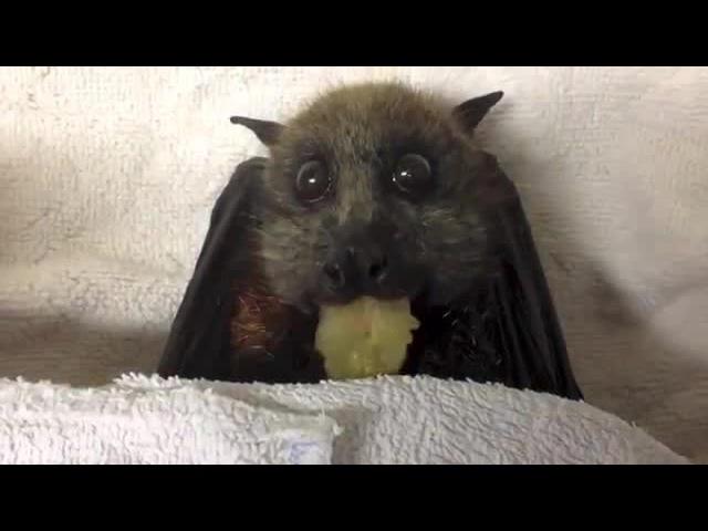 Летучая лисица набивает рот | Flying-Fox eats grapes