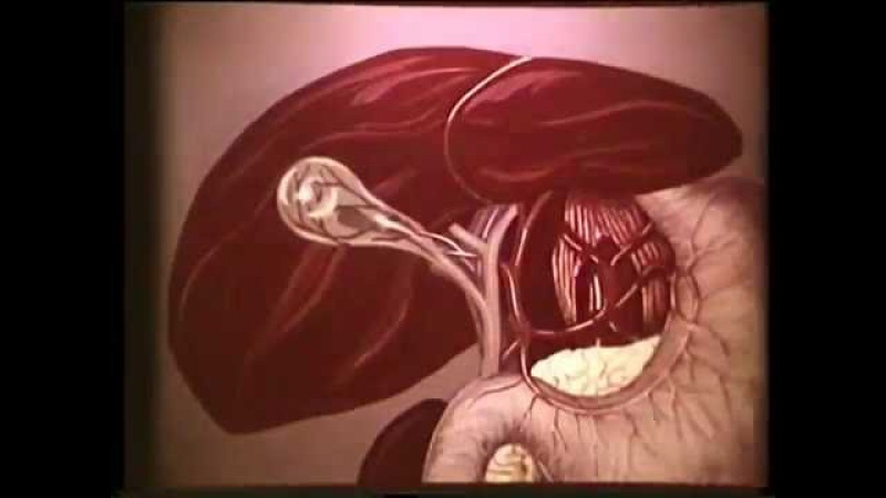 Топографическая анатомия желчного пузыря и желчных путей © biliary tract