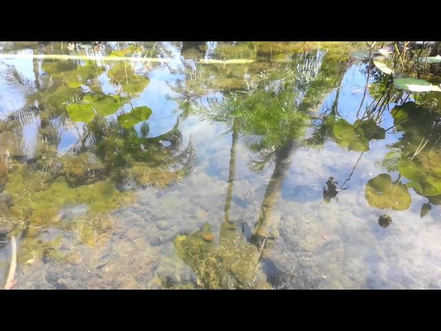 Tiger barb sumatra in pond