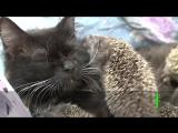 Кошка-Муся усыновила 8 ёжиков