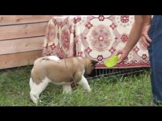 Девочка 2 -TRUPERS STARS AFSONA - 1,5 месяц