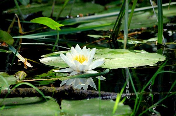 Водная лилия