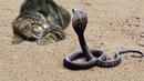 「クレイジー猫」猫が強すぎる どんな動物に対してもビビらない