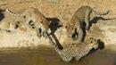 Котята-леопарды развлекаются в воде [Babette De Jonge]
