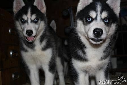 Хаски Сибирской щенки-БОЛЬШОЙ ВЫБОР!!!
