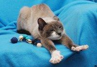 Молодая кошечка, метис тайской, блю-пойт , ищет дом и любящих хозяев.