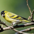 Это кочующая и частично перелетная птица, передвигающаяся на зиму в...