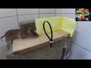 Ловим крыс и мышей! 4 способа