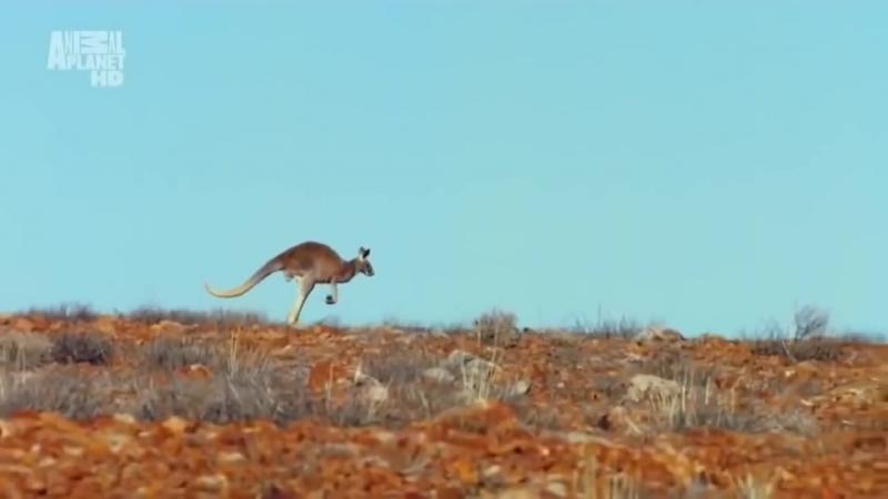 Дикий Животный мир Австралии.