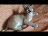 Котенок саванна(Ashera)