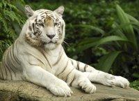 картинка Белый тигр на камне.