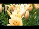 свечение лилии