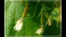 Почему опадают завязи у огурцов?? Основные причины