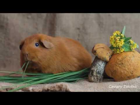 Морская свинка Гретхен и лесной натюрморт. Питомник Золотко