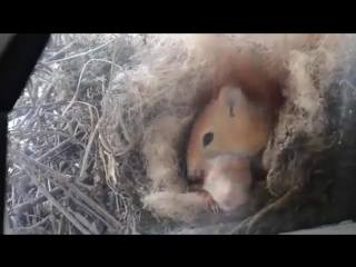 Белка свила гнездо прямо за окном жилого дома, тем самым подарила его жильцам уникальную возможность понаблюдать за своей жизнь