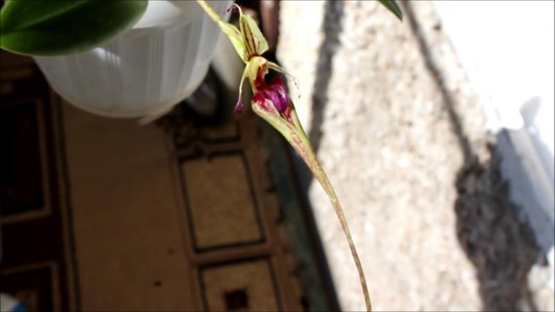 Бульбофиллум зловонный (Bulbophyllum putidum)