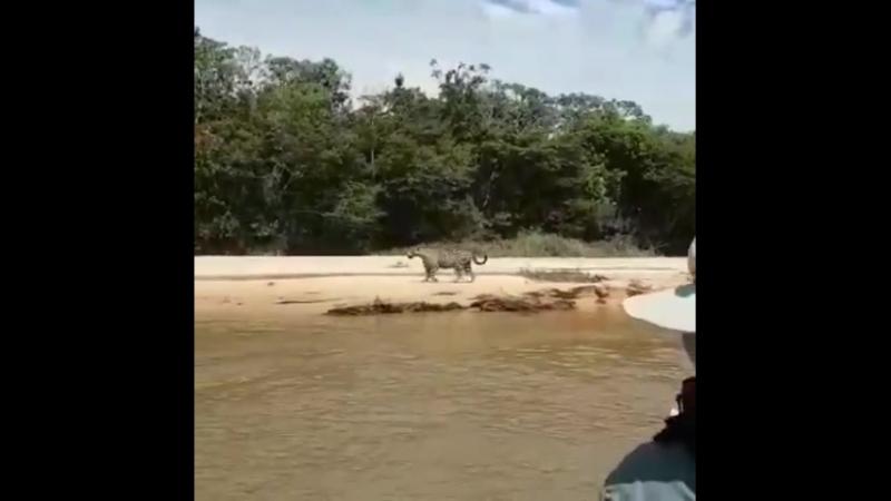 Pantanal Brazil Tours Jaguar