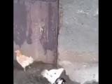 Мать защищает птенцов от сороки ?