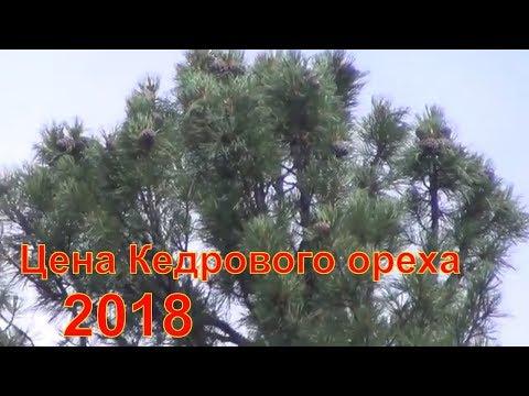 Цена кедрового ореха 2018 Кедровый орех цена Кедровые орехи сколько стоят Кедровый орех кедр