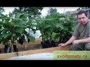 Если плохо растут баклажаны может вы делаете что то не так