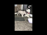 Some dogs are born clumsy... ??  Husky babies