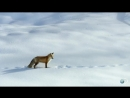 Как лиса ловит мышей в глубоком снегу.mp4