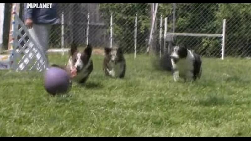 Введение в собаковедение (Серия №21)