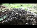 Лет муравьев Лазиус Фулигинезус пахучий муравей древоточец