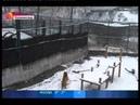 Тигрица Таня катает снежки отред mpg
