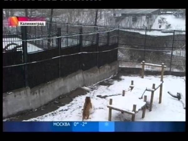 Тигрица Таня катает снежки отред mpg смотреть онлайн без регистрации