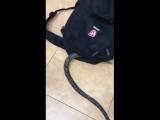 Милая змейка прикольно расположилась в рюкзаке