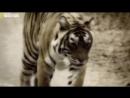 Хищники - убийцы. Тигр людоед. Документальный фильм
