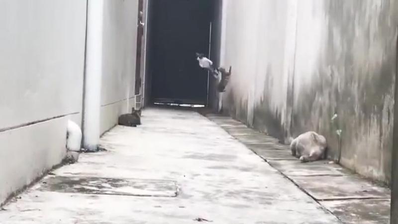 Кот или ястреб? Кот перепрыгивает кошек а точнее перелетает - Смешные кошки МатроскинТВ