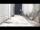 Кот или ястреб Кот перепрыгивает кошек а точнее перелетает - Смешные кошки МатроскинТВ