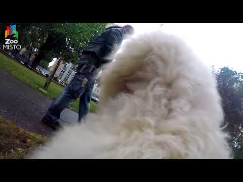 ГоПро и Пудель Мир глазами собаки GoPro and Poodle Go pro dog