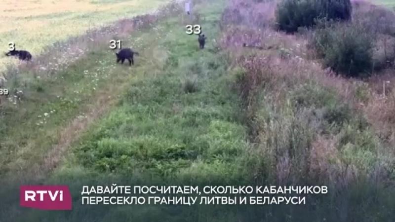 Стадо диких кабанчиков нелегально пересекло границу между Беларусью и Литвой. Их поступок не остался незамеченным: нарушители по