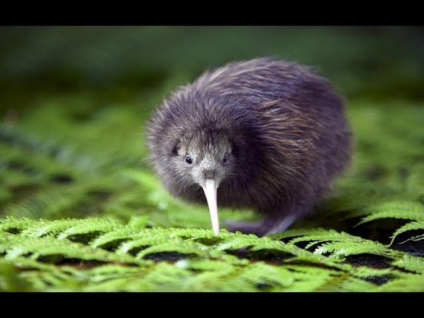 Птичка киви ⁄ Kiwi bird
