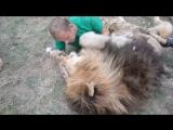 Ничего необычного, просто львы-друзья!