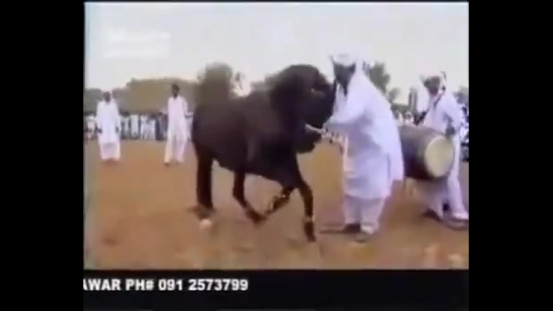 [v-s.mobi]Лошадь танцует лезгинку в египте.mp4