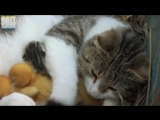 Кошка приняла 3 крошечных утят