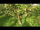 Мичурин современности! Яблоневый сад Б.Н.Агеева. Ю.А.Фролов в питомнике у профес