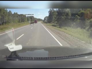 Осторожно! На дороге лоси!