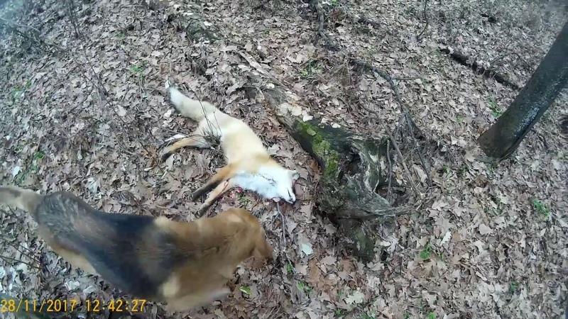 Охота на лису по чернотропу С русской гончей