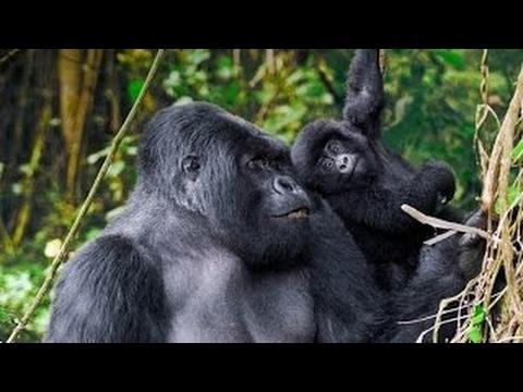 Моя жизнь с гориллами | Удивительный документальный фильм HD » Freewka.com - Смотреть онлайн в хорощем качестве